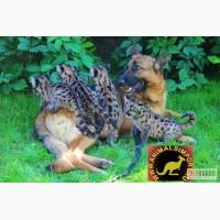 Продам котят Канадской Пумы или Кугуара или Горного Льва. выкормыши!