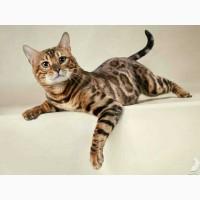 Продам котят бенгальской породы