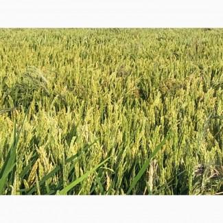 Семена риса