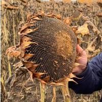 Семена гибрида подсолнечника ТАЛЬДА под ЭКСПРЕСС(50г/га)